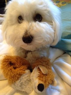 Coton de tulear eyes are irresistible