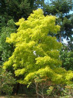 Robinia 'Frisia' - golden foliage pops against dark evergreens