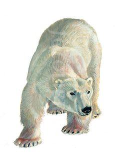 41638-polar-bear-illustration.jpeg (462×600)