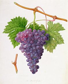 Grape Vines Painting - The Poonah Grape by William Hooker
