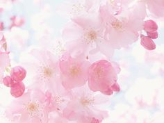 cherry blossom ❀