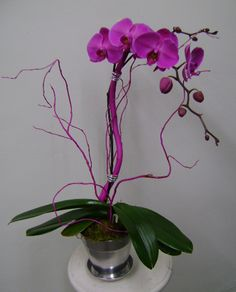 This is a purple phalaenopsis orchid plant.  See our entire selection at www.starflor.com.  To purchase any of our floral selections, as gifts or décor, please call us at 800.520.8999 or visit our e-commerce portal at www.Starbrightnyc.com. This composition of flowers is generally available for same day delivery in New York City (NYC). OP027 Phalaenopsis Orchid, Orchid Plants, Orchids, Portal, Composition, Nyc, Delivery, York, Purple
