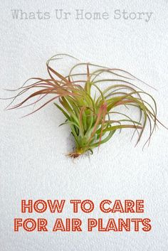 How to care for Air Plants  http://www.whatsurhomestory.com