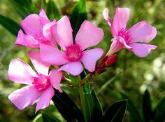 Adelfa (Nerium Oleander): Esta es una de las flores más tóxicas del mundo, esta hermosa flor puede ser mortalmente venenosa y su color está ...
