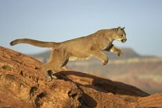 animals, cougar,mountain lion lynx
