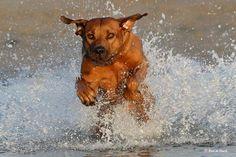 rhodesian ridgeback | Rhodesian Ridgeback | Pets Info Center
