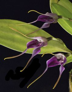 Masdevallia elegans, by weissalberich, via Flickr