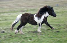 Shetland Pony | shetland-pony-2.jpg