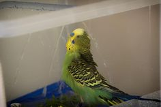 Vogeldusche, künstliche Beregnung für Wellensittiche » In einer Vogeldusche fühlen sich Wellensittiche wohl, der Schmutz  ...