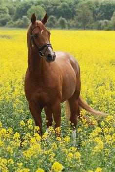 Precioso caballo entre flores amarillas (by tanjadavis)