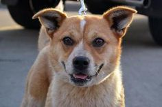 Maizzy is an adoptable Corgi Dog in Minneapolis, MN. Name: Maizzy Breed: Corgi Mix Age: Young Adult Gender: Female Mazzy is a 1 year old female Corgi mix, and for such a young dog she is so chill, so ...