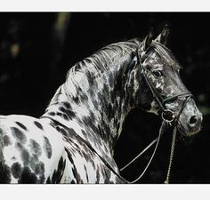 The Knabstrup (or Knabstrupper). A European warmblood thought to be descended from a prehistoric Spanish spotted horse. Very similar in colouring to the North American Appaloosa.