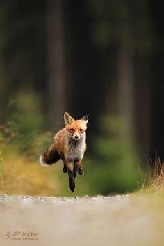 Beautiful Fox Run Photos and Images – Hunderasse – … Beautiful Fox Run Fotos und Bilder – Hunderasse – Nature Animals, Animals And Pets, Cute Animals, Wild Animals, Baby Animals, Fox Running, Fantastic Fox, Pet Fox, Wild Dogs