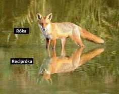 róka - recipróka Funny Fails, Funny Jokes, Try Not To Laugh, Good Jokes, Cute Gif, Just For Laughs, Funny Moments, Funny Photos, Haha