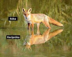 róka - recipróka