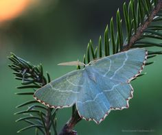 Aberrant Butterfly