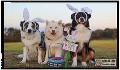 Australian Shepherd Puppies For Sale in Minnesota, MN Australian Shepherds, Dog Easter Eggs, Bear Grylls Survival, Bear Hunting, Education Canine, Selfies, Dog Signs, Shepherd Puppies, Shepherd Dog
