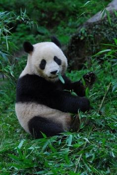 The Giant Panda was once widespread in southern and eastern China, Vietnam and Myanmar (Burma). Today the Giant Panda is limited to the mountains in a few Chinese provinces in southwestern China.