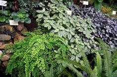 Kuvahaun tulos haulle saniaiset puutarhassa