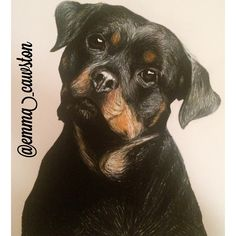 Competed Rottweiler puppy drawing #petportraits #art #pencils #animalportrait #animaldrawing #drawing #dog #rottweiler #puppy