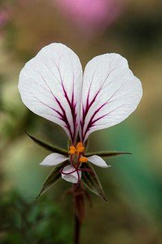 Pelargonium longicaule, Storksbill. Native to the Western Cape, South Africa. photo: jeffs bulbesetpots.