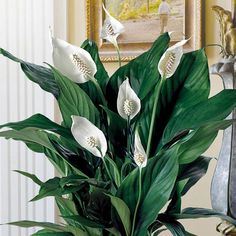 "Peace Lily - on Nasa's list of ""Top Ten Household Air Cleaning Plants"". 17 Incredible Houseplants You Need Right Now Air Cleaning Plants, Rubber Plant, Peace Lily, Monstera Deliciosa, Plant Needs, Cheer You Up, Houseplants, Beautiful Gardens, Indoor Plants"