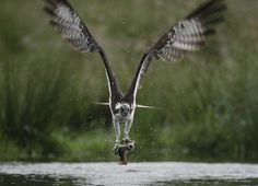 Amazing line up of the osprey. The trouts mouth is open in disbelief!