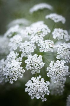 How to grow Ammi majus from seed, sowing seeds, the flower garden, cut flowers Dark Flowers, Types Of Flowers, Colorful Flowers, Growing Flowers, Planting Flowers, Flower Seeds, Flower Pots, Beautiful Gardens, Beautiful Flowers