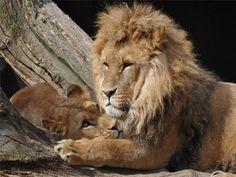 jungle animals, nature animals, cute animals, animals and pets, lion coup Jungle Animals, Nature Animals, Animals And Pets, Cute Animals, Beautiful Lion, Animals Beautiful, Lion Couple, Lion Family, Gato Grande