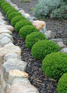 Buy Green Globe Hebe Emerald Gem Hedging Plants | Hopes Grove Nurseries