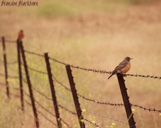 American Robins on Fence