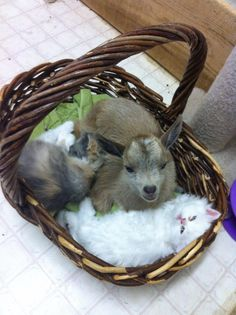 Baby goat and kittens!