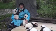 Panda cuddler might be the world's best job