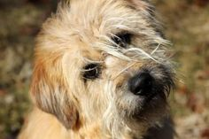 Riley is a 2 year old, 45 lb, male #SoftCoatedWheatenTerrier mix. He is house-trained, #dog friendly, loves the #dog park, adult companionship, long walks. Hines is a very loyal #dog to his master. LIKES - adult companionship, long walks, lots of attention, chewing dog bones, fetching ball and toys, dog park, car rides, big bowls of water. DISLIKES - children, cats, squirrels, table scraps, strangers walking by and knocking on the door. http://www.doggielife.com/CFOTMM