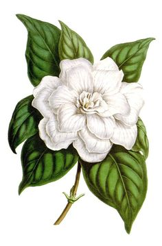 oldbookillustrations:    Gardenia jasminoides var. fortuneana.  From Flore des Serres et des Jardins de l'Europe (Flowers of the Greenhouses and Gardens of Europe) vol. 2, by Charles Lemaire, Michael Scheidweiler, and Louis van Houtte, Ghent, 1846.  (Source: archive.org)