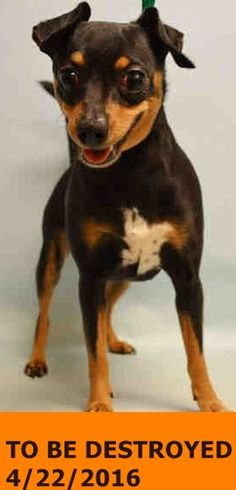 SUPER URGENT Manhattan Center MIMI – A1070142 FEMALE, BLACK / TAN, CHIHUAHUA SH MIX, 8 yrs STRAY – ONHOLDHERE, HOLD FOR ID Reason STRAY Intake condition EXAM REQ Intake Date 04/12/2016 http://nycdogs.urgentpodr.org/mimi-a1070142/