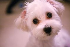 How to groom your own dog.  I have been grooming my schnauzers for over 15 years and saved hundreds of dollars!