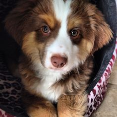 "197 Likes, 8 Comments - Huey the mini aussie  (@huey_miniaussie) on Instagram: ""#eyebrows #enoughsaid #aussiesofinstagram"""