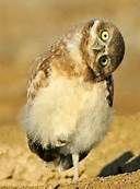 Right hook owl