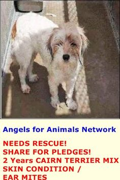 NEEDS RESCUE! SHARE FOR PLEDGES! A1389422 F 2 Years WHITE BROWN CAIRN TERRIER MIX 5/19/2015 SKIN CONDITION / EAR MITES OC Animal Care. 561 The City Drive South, Orange, CA. 92868 Telephone: 714.935.6848 https://www.facebook.com/AngelsForAnimals.AFA/photos/pb.315830505222.-2207520000.1432323915./10155549646720223/?type=3&theater