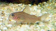 corydoras polystictus ????? ?? bot on twitter see more ...