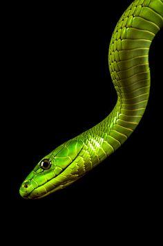Green Mamba by Jeffrey van Ringelenstijn on 500px