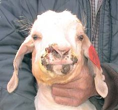 Langston University Goat & Research Extension-common goat diseases...tons of info