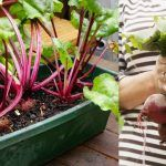 Growing Beets in Containers: How to Grow Beets in Pots