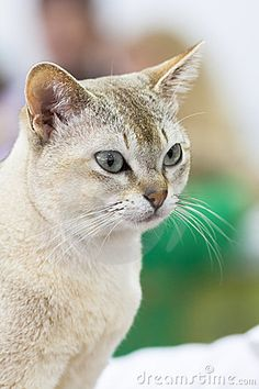 Portrait of beautiful beige cat.