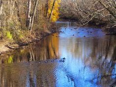 Ducks patrol the Rockaway River in Lake Hiawatha,Knoll Road, Parsippany, NJ