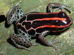 """Ranitomeya ventrimaculata """"Yasuni"""""""