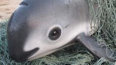 One of the world's rarest and most cherished animals, the vaquita porpoise, is on the brink of extinction. With just 30 -- or possibly even fewer -- of these marine mammals left in the entire world, they could be gone forever within months, according to the World Wildlife Federation ( WWF ).   Vaquitas...