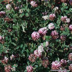 Pink and White Alsike Clover Seeds, Trifolium hybridum, Alsike Clover
