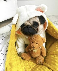 Pug Puppies for sale - Pug Dog Price: Buy KCI Registered Pug Puppies for sale in India, Get healthy and purebred pug puppi - Pug Puppies For Sale, Cute Dogs And Puppies, Pet Dogs, Puppies Puppies, Baby Pugs For Sale, Pets, Doggies, Black Pug Puppies, Havanese Puppies